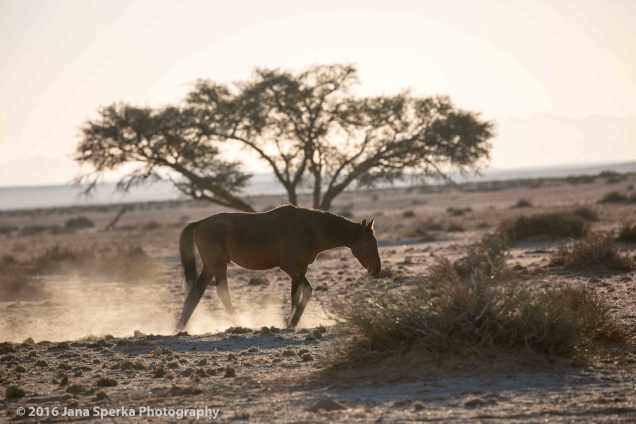Wild-Namibian-Horse-in-the-evening-light-web