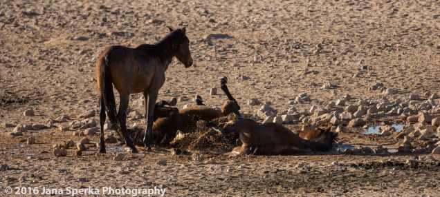 Wild-Namibian-Horses-Mud-bathing-web