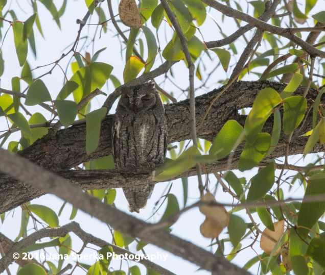 African-scops-owl---so-tiredweb