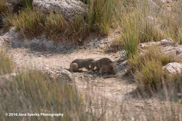 Banded-mongoose-playing-marblesweb