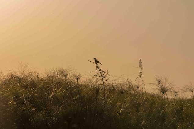 Bird-on-a-reedweb