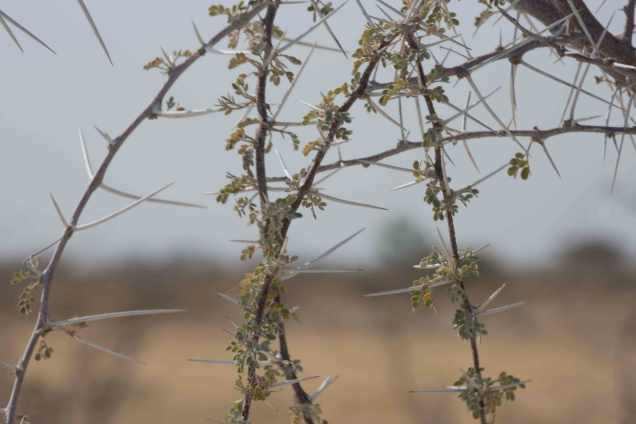 Buffalo-thorn-the-cause-the-first-flat-tireweb