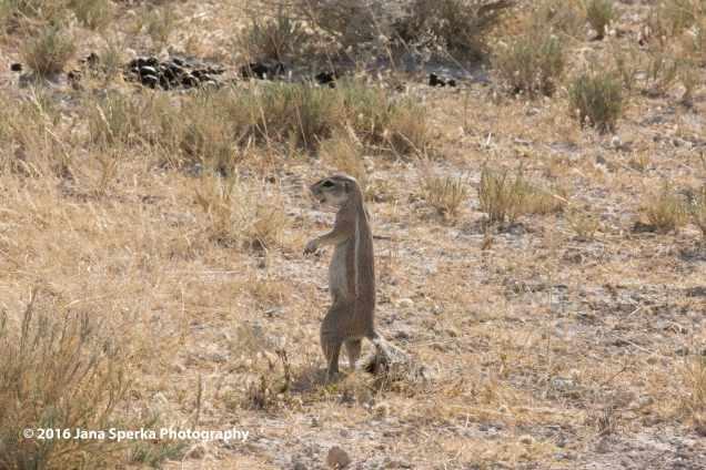 Cape-Ground-Squirrelweb