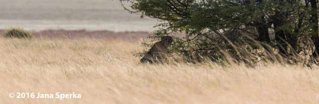 Cheetah_1web
