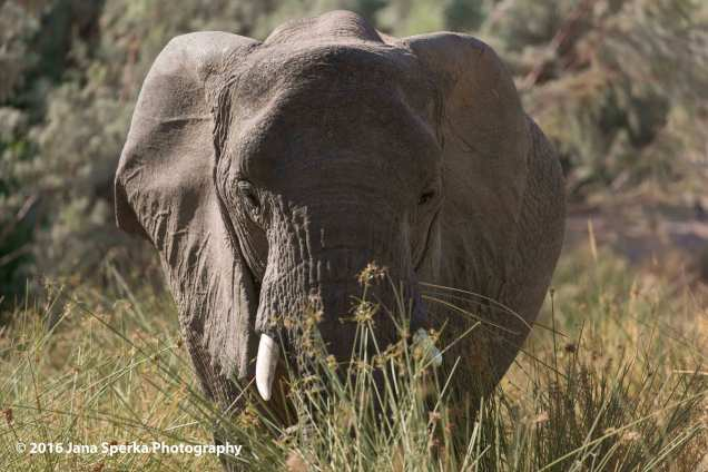 Dessert-Elephant-Brandberg_1web