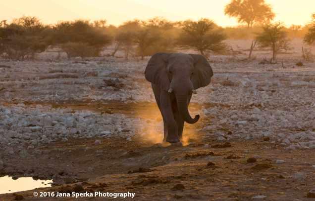 Elephant-in-the-duskweb