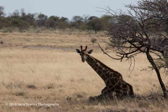 Giraffe-nap_1web