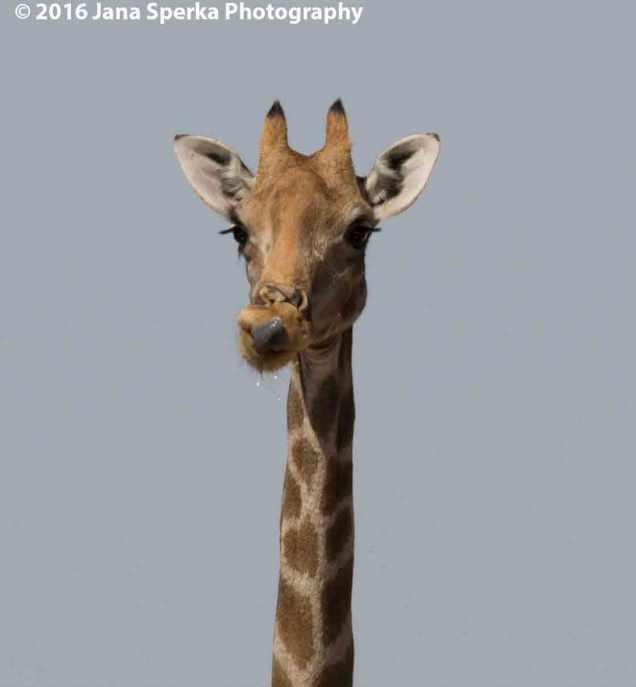 Giraffe-tongue-after-drinkweb