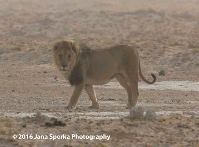 Lion---Dust-storm-stareweb