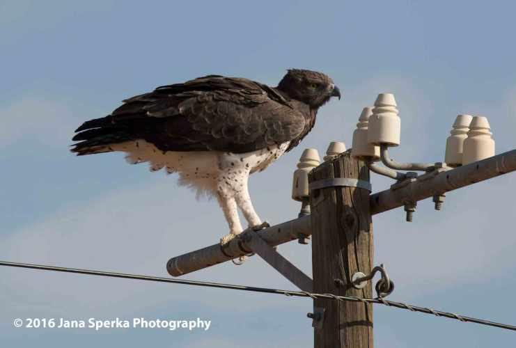 Martial-Eagleweb