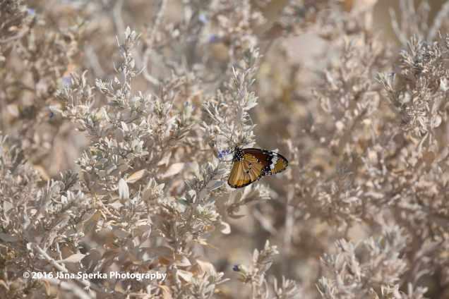 Monarch-Butterflyweb