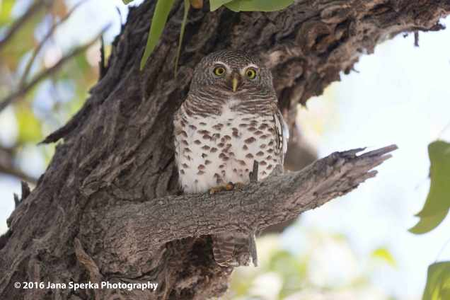 Pearl-spotted-owletweb