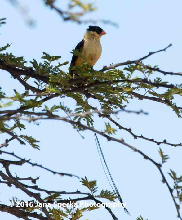 Pintailed-Whydahweb