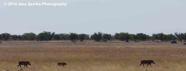 Warthogs-running-with-tails-upweb