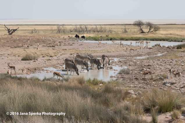 Waterhole---zebra,-springbok,-ostrichweb