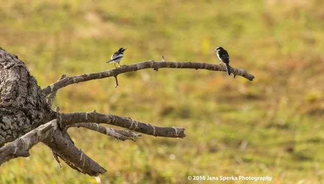 African-Pied-Wagtailweb