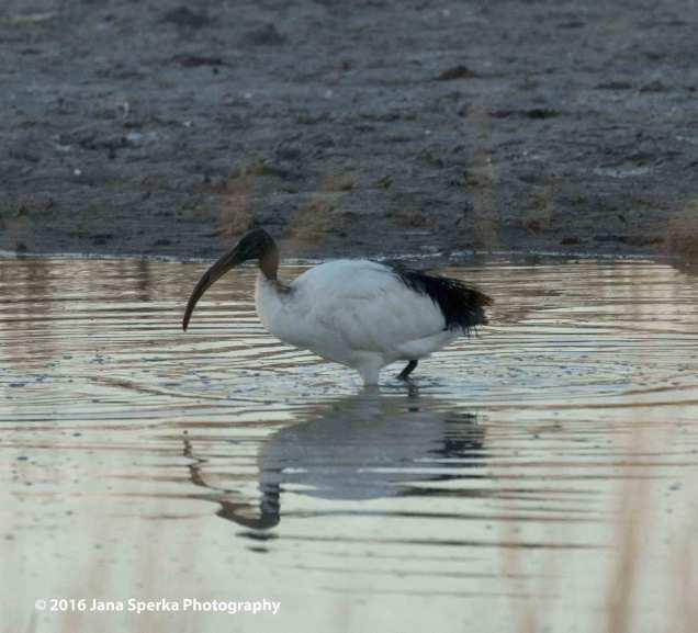 African-sacred-ibisweb