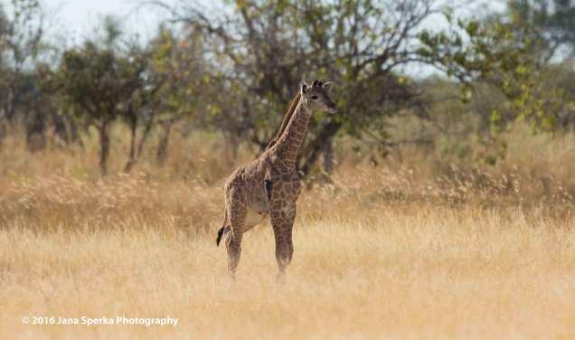 Baby-Giraffe_1web