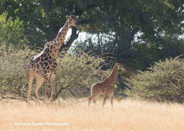 Baby-Giraffeweb