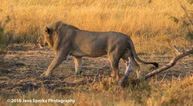 Battle-scarred-lionwev