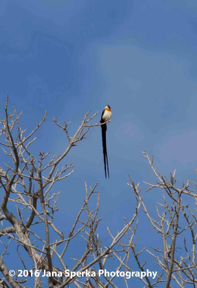 Broad-tailed-Paradise-Whydahweb