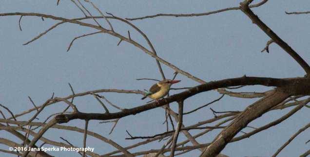 Brown-hooded-Kingfisherweb