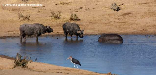Cape-Buffalo,-Hippo-and-Marabou-Storkweb