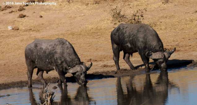 Cape-Buffalo-with-a-yellow-billed-oxpeckerweb