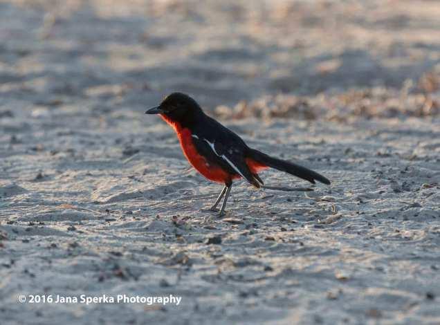 Crimson-birdweb