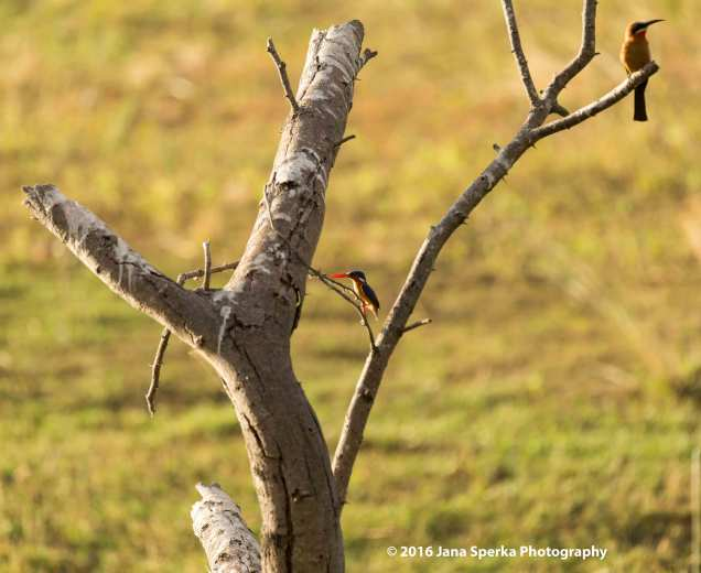 Duo-of-Bee-Eater-and-Kingfisherweb