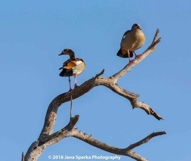 Egyptian-geese-in-a-treeweb