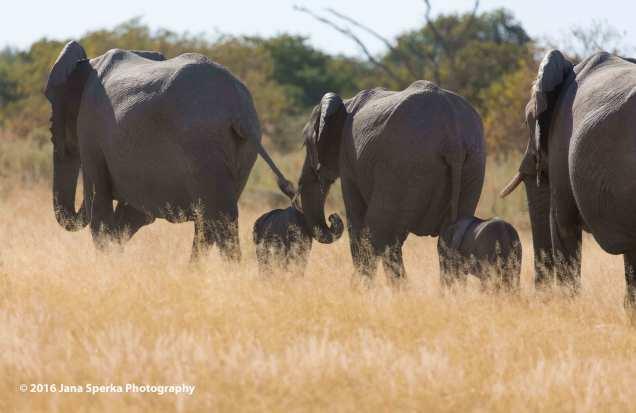 Elephant-keeping-babies-safeweb