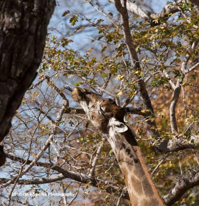 Giraffe-Almost-got-itweb