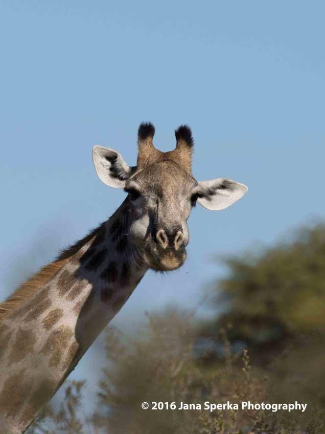 Giraffe---mustacheweb