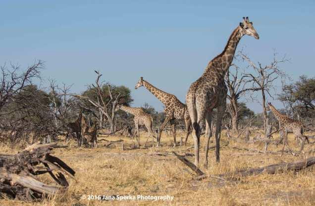 Giraffe-partyweb