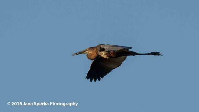 Goliath-Heron-in-flightweb