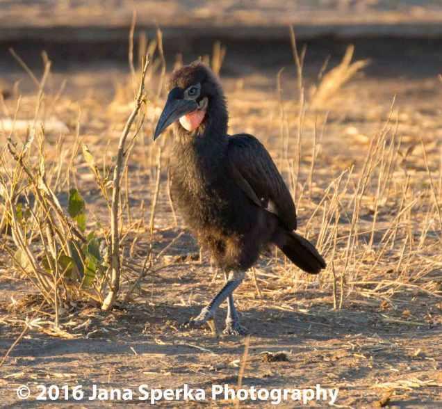 Ground-Hornbill-Juvenileweb