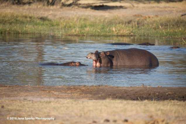 Hippo-teeth_1web