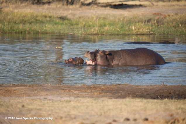 Hippo-teeth_2web