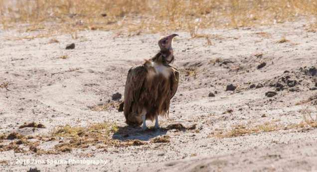 Hooded-Vultureweb