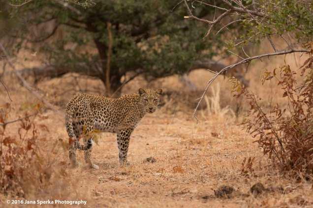 Leopard_2web