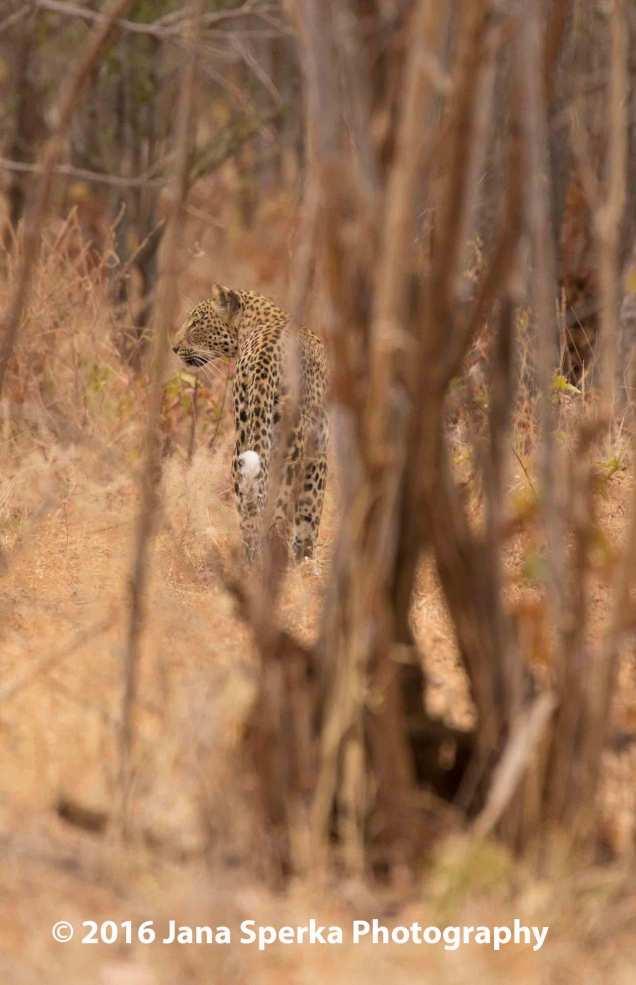 Leopard_3web