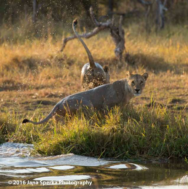 Lioness-morning-wet-kitties_1web