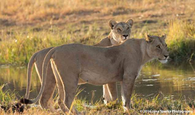 Lioness-morningweb