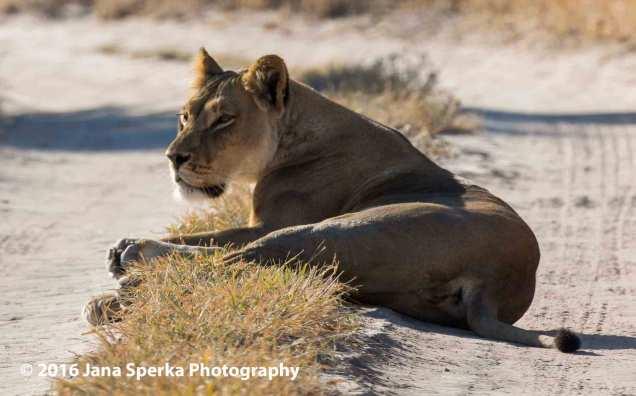 Lioness-roadblockweb