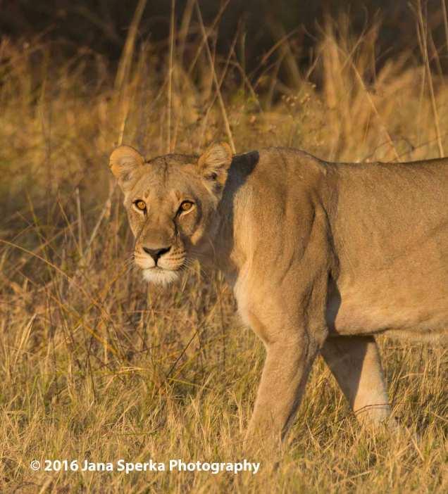 Lioness-stareweb