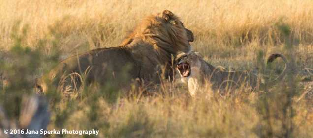 lioness-wet-angry-kittyweb