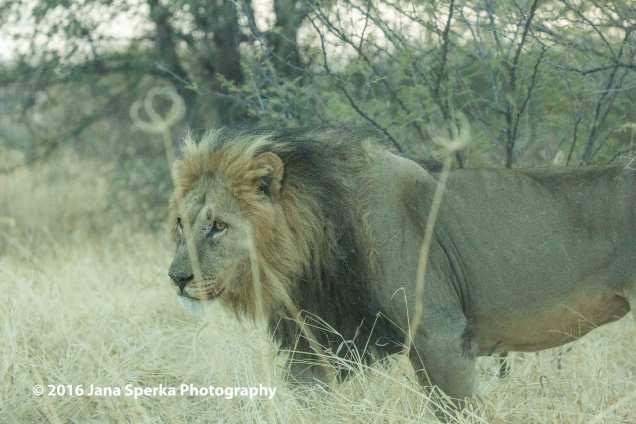 Male-Lionweb