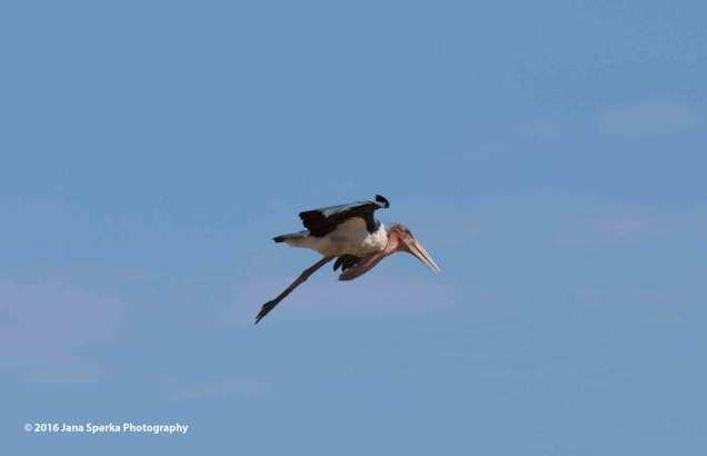 Marabou-Stork-flyingweb
