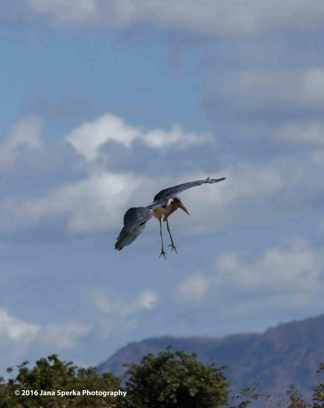 Marabou-Stork-landing-gearweb